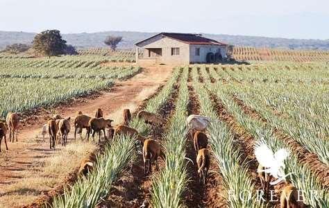 plantations aloe vera forever au mexique