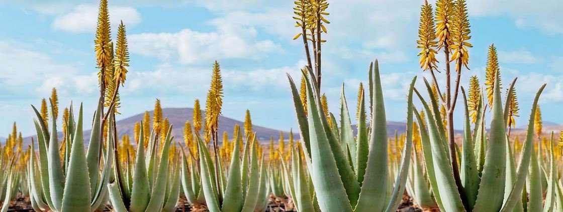 formulaire de contact, plantation d'aloé vera mexique